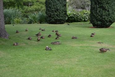 Ducks at Emma College